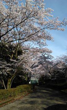 公園の桜0410-1.jpg
