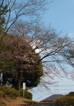 公園の桜2分咲き170404.jpg
