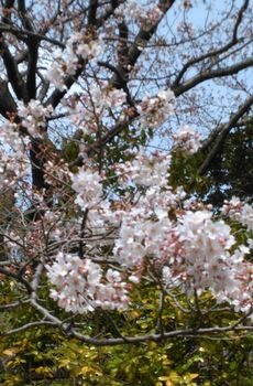 公園の桜0406-2.jpg