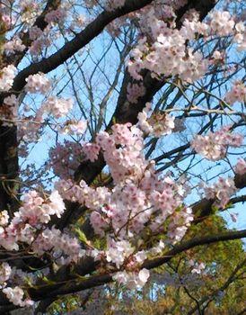 公園の桜0410-3.jpg