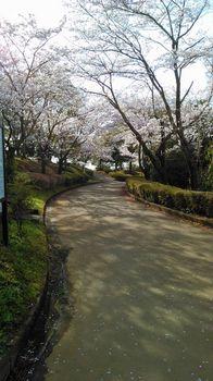 公園の桜0410-8.jpg