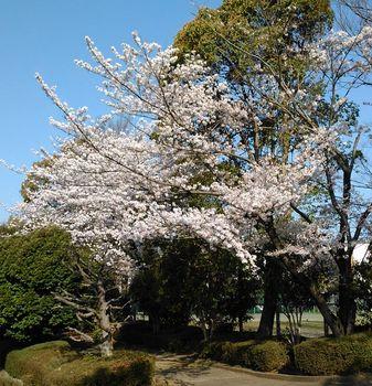 公園の桜0415-1.jpg