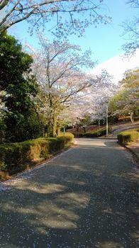 公園の桜0415-3.jpg