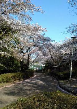 公園の桜0415-4.jpg